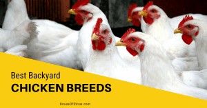 best backyard chicken breeds